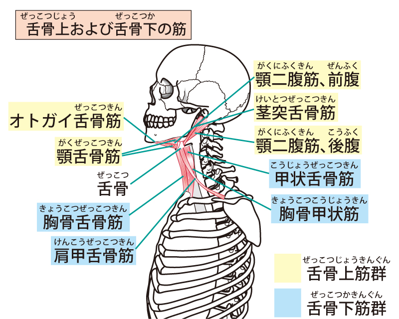 顎関節周囲の筋肉解説図
