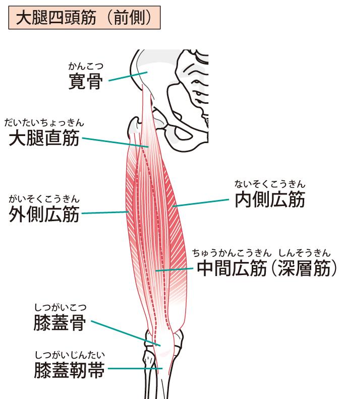 膝関節周辺の筋肉と神経の解説図