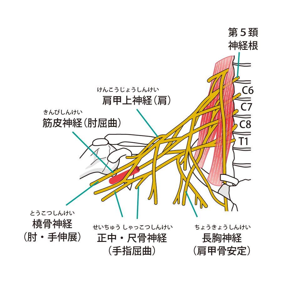 肩周辺の筋肉と神経の解説図
